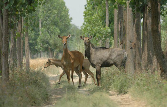 गाय नहीं नीलगाय मार कर खाओ: शिवपाल सिंह यादव