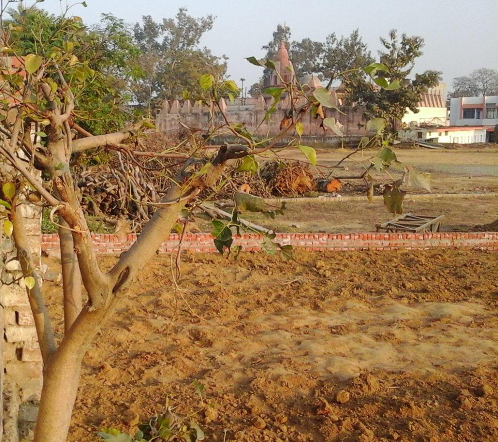 गौरी शंकर मंदिर के पीछे बन रही कॉलोनी में कटे पड़े प्राचीन प्रतिबंधित पेड़।