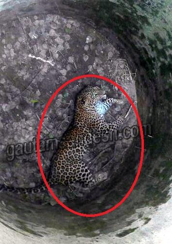 सिकन्दराबाद स्थित कुएं में पड़ा तेंदुआ।